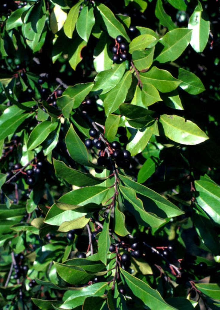 Carolina Cherry Tree Poisonous | Carolina Cherry Laurel for Sale | Cherry Laurel