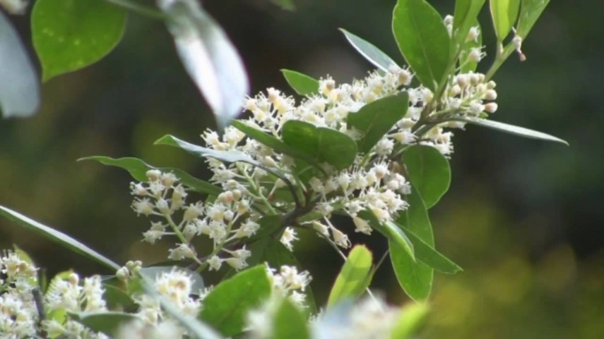 Carolina Cherry Tree Poisonous | Carolina Laurel Cherry Hedge | Cherry Laurel