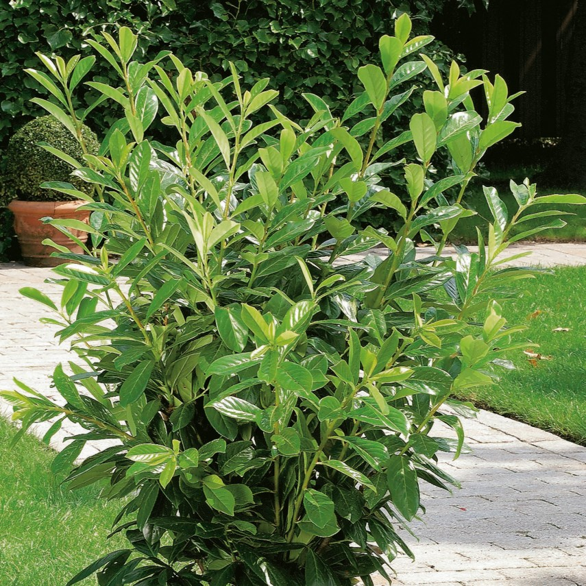 Carolina Cherry Tree Poisonous | Cherry Laurel Texas | Cherry Laurel