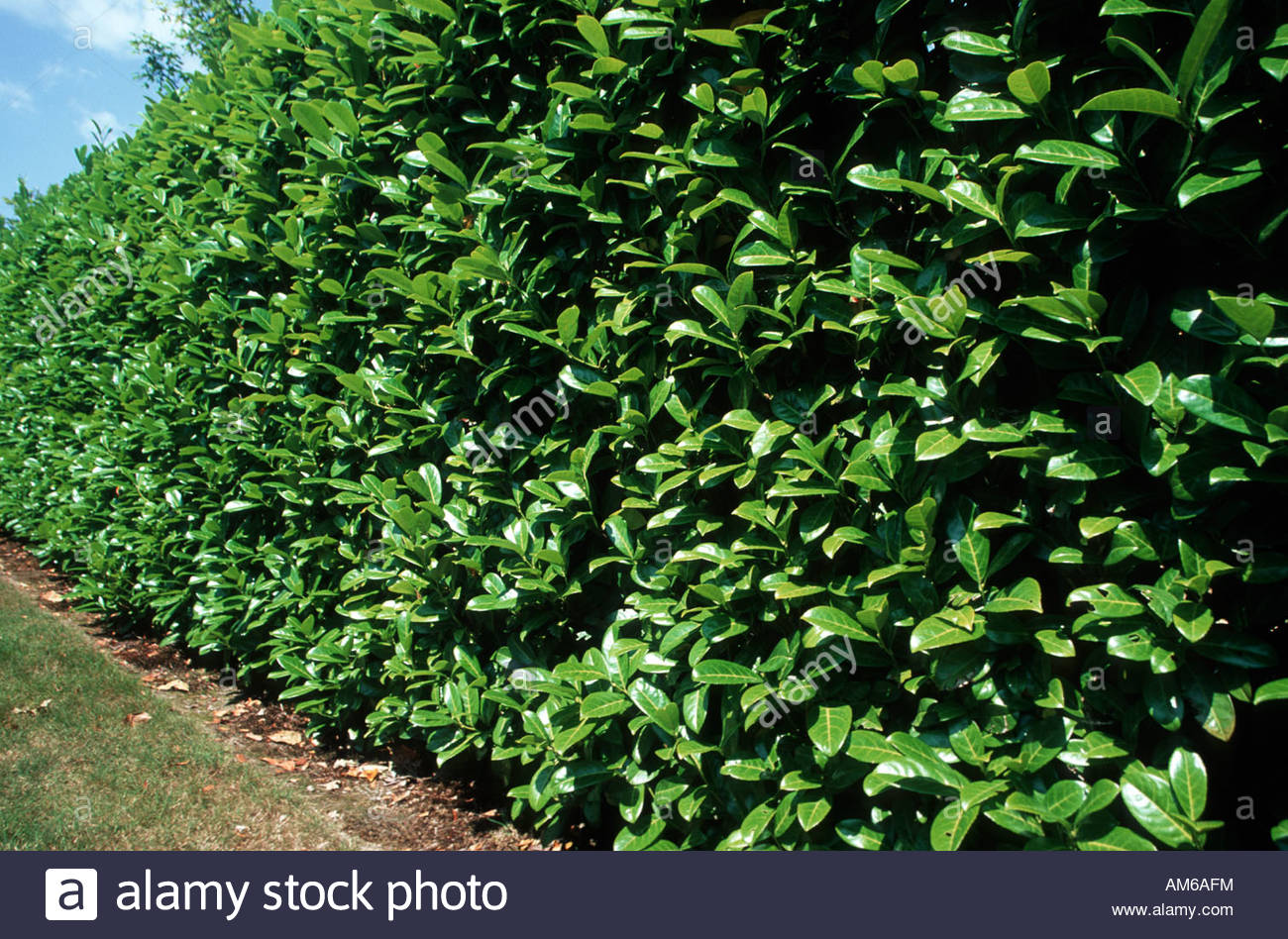 Carolina Laurel Cherry Hedge | Cherry Laurel | Laurel Bushes Pictures