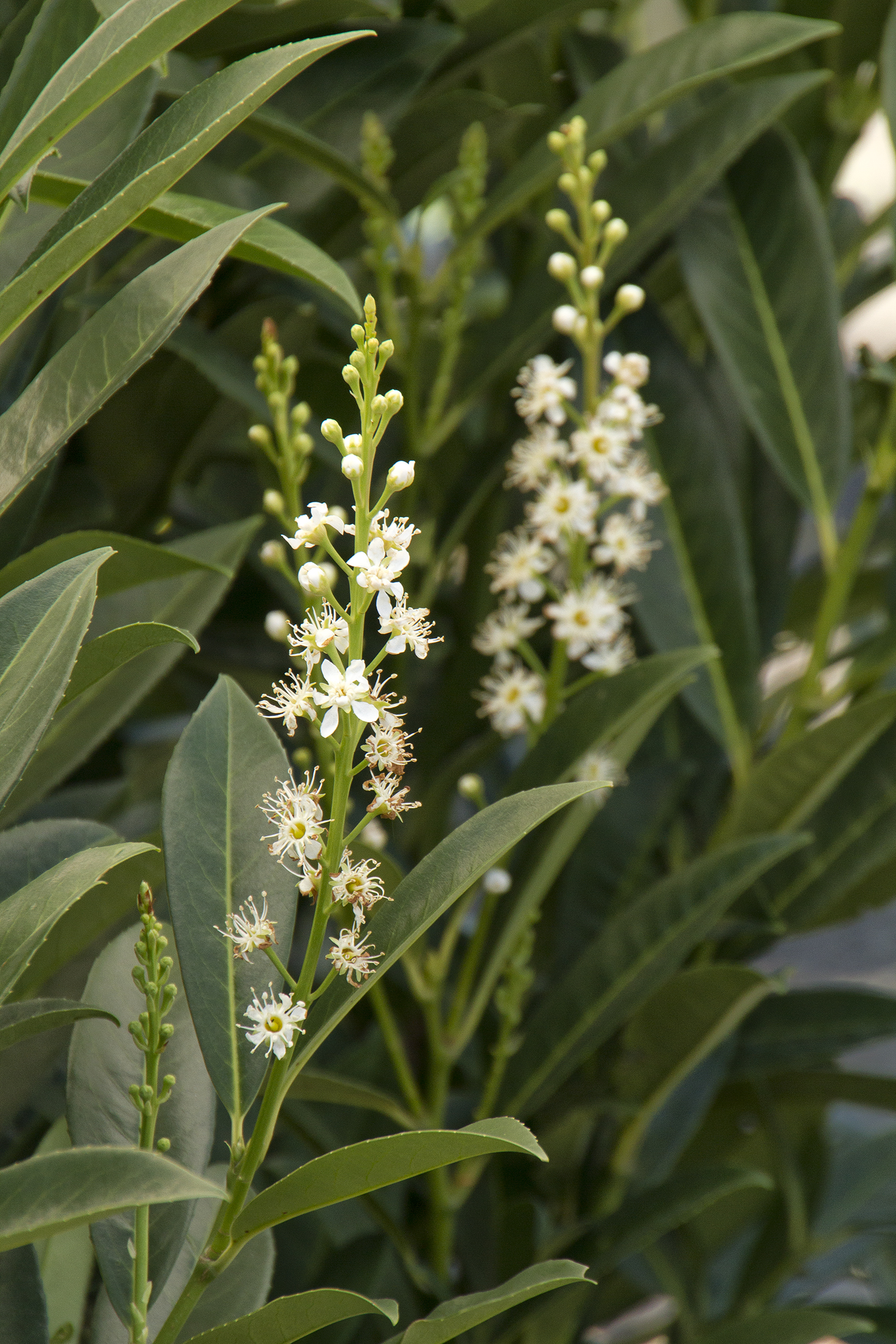 Cherry Laurel | Carolina Laurel Cherry Hedge | Skip Laurel Growth Rate