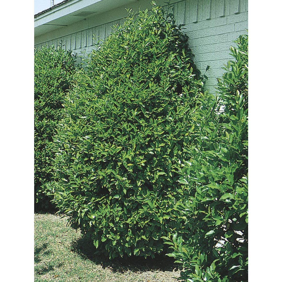 Cherry Laurel | Cherry Laurel Hedge | Carolina Laurel Cherry Tree