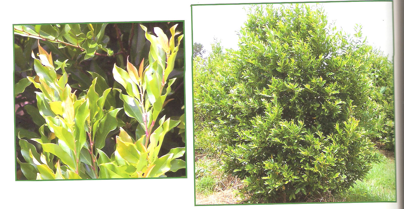 Cherry Laurel | Cherry Laurel Tallahassee | Laurel Shrubs