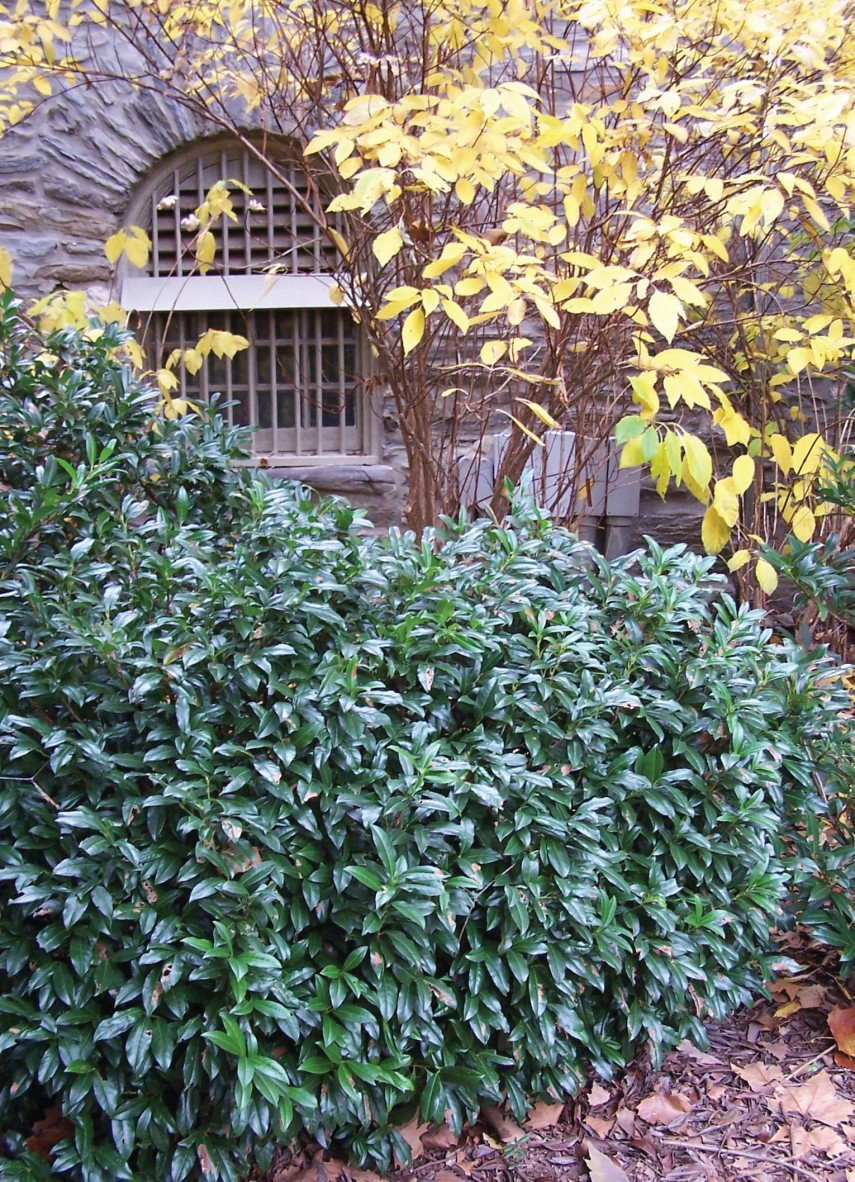 Cherry Laurel | Compact Laurel | Cherry Laurel Texas