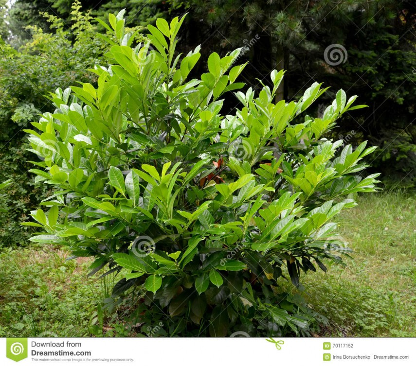Cherry Laurel Hedge Plants | Laurel Tree Berries Poisonous | Cherry Laurel