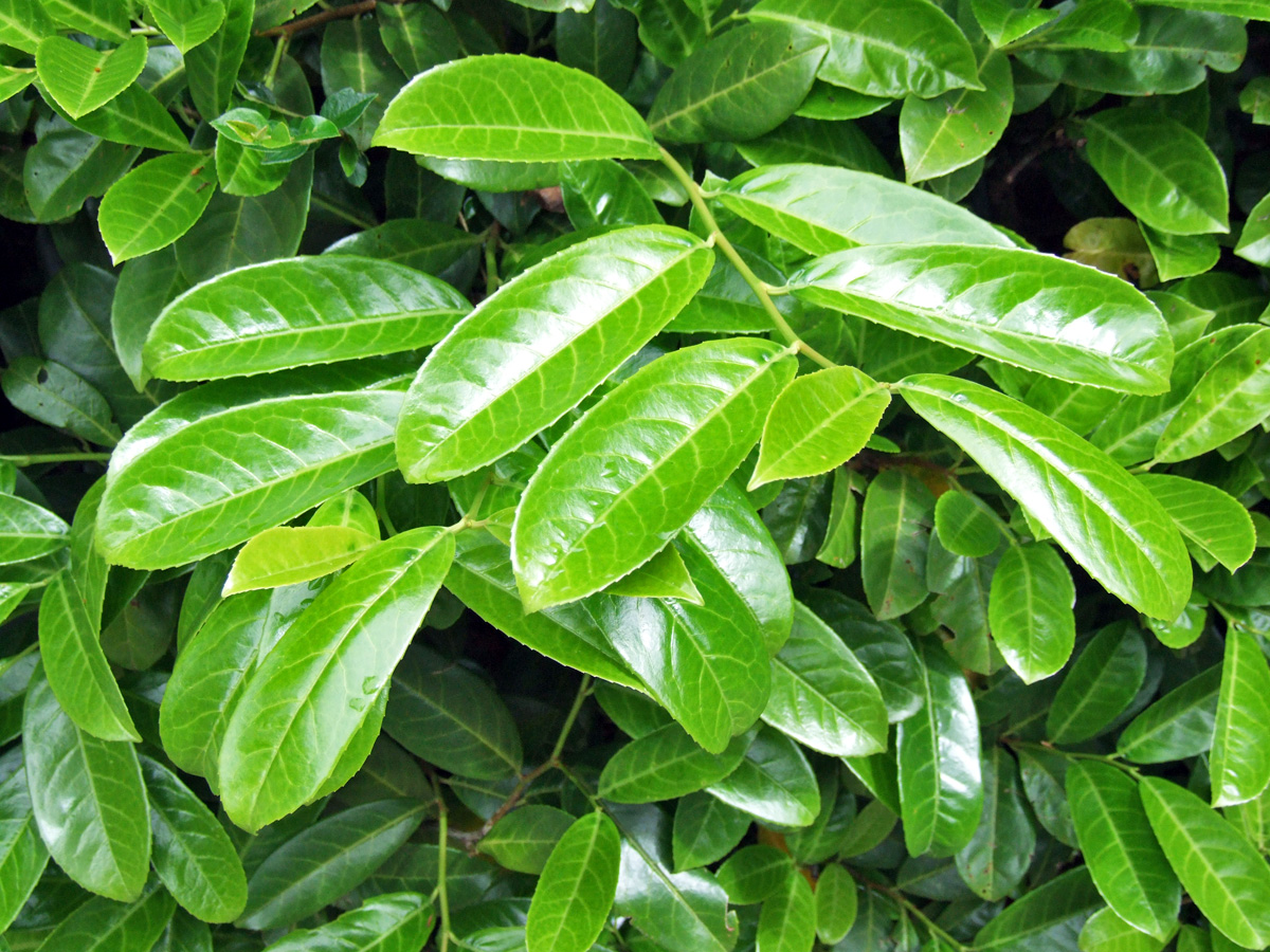 Cherry Laurel | Prunus Laurocerasus Tree | Cherry Laurel Hedge Plants