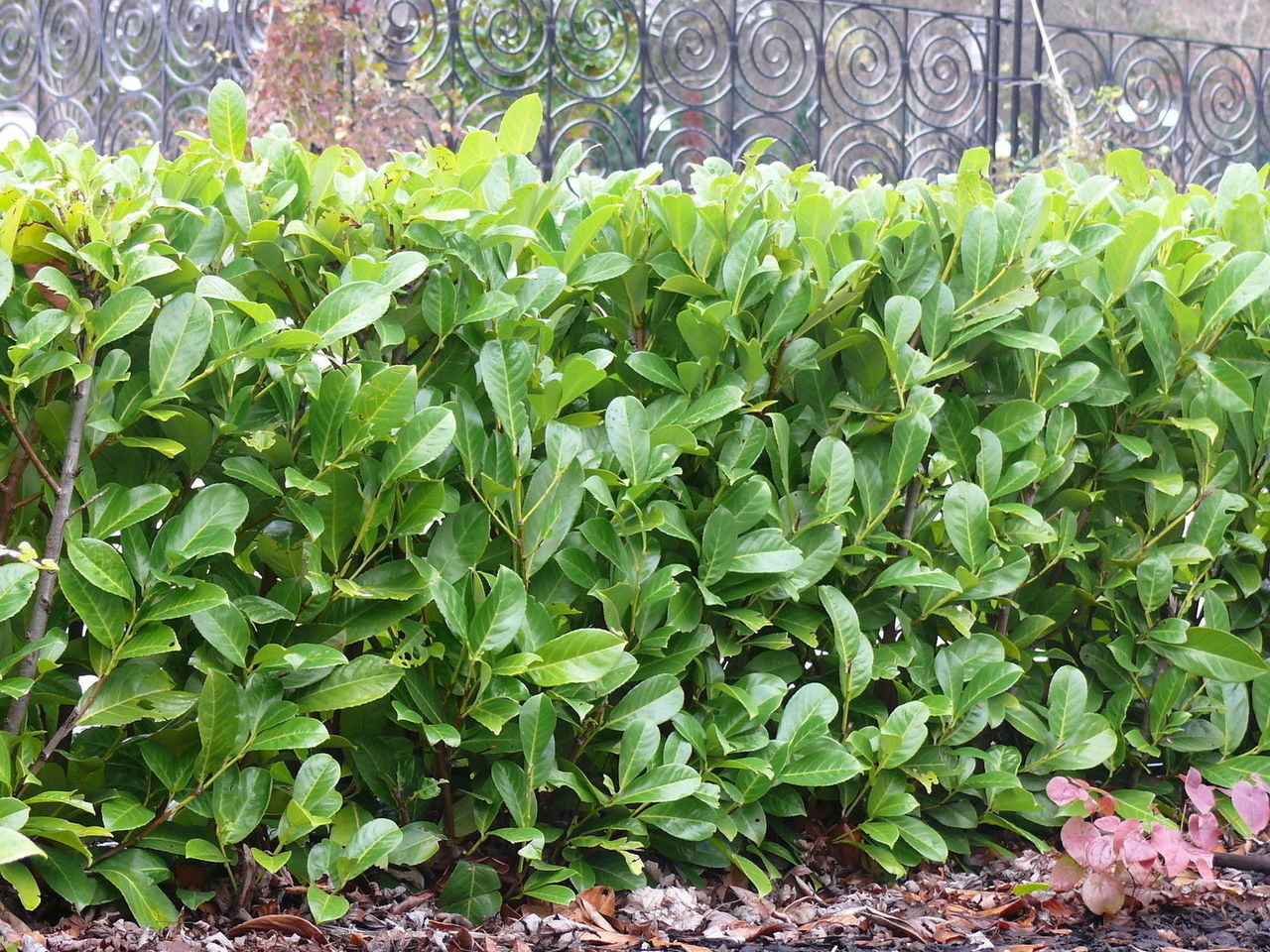 Cherry Laurel Shrub | Skip Laurel Pruning | Cherry Laurel