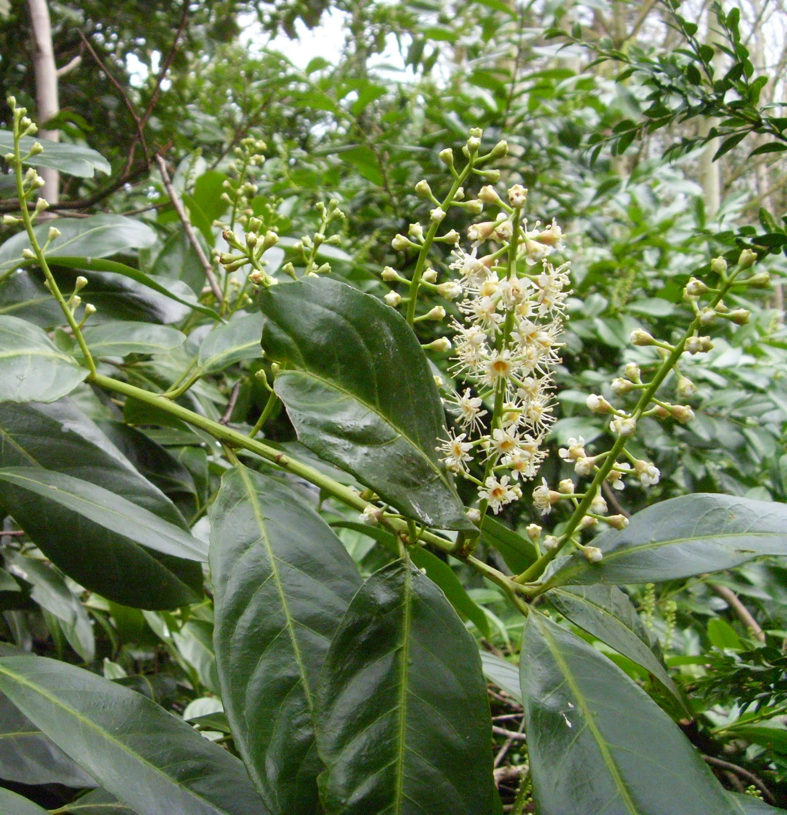 Cherry Laurel | Skip Laurel Pruning | Planting Cherry Laurel Hedge