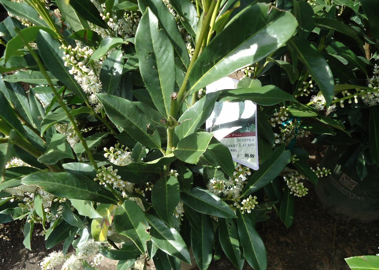 Cherry Laurel Texas | Cherry Laurel | Otto Luyken Laurel Price