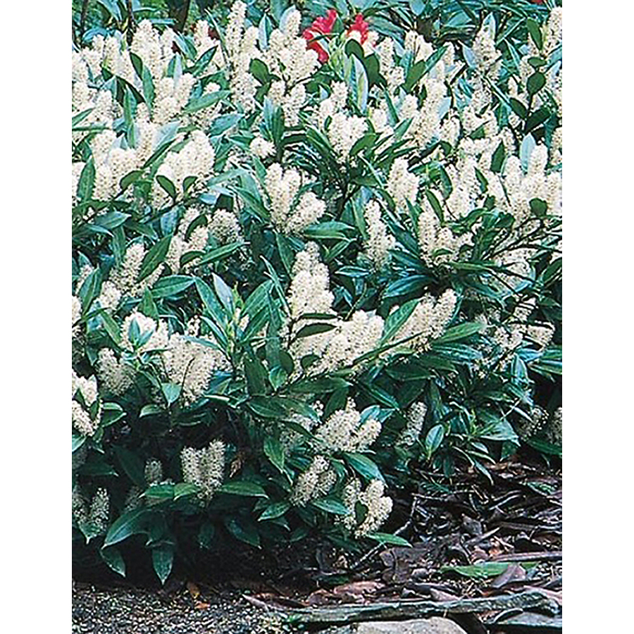 Cherry Laurel Tree | Compact Carolina Cherry | Cherry Laurel