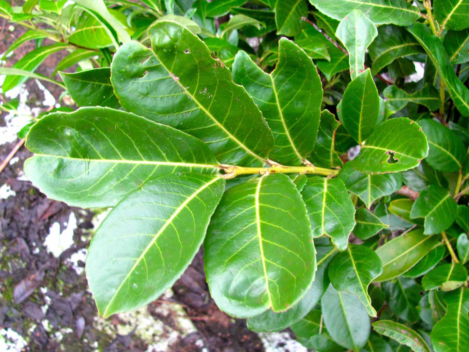 Cherry Laurel Tree | Prunus Caroliniana | Cherry Laurel