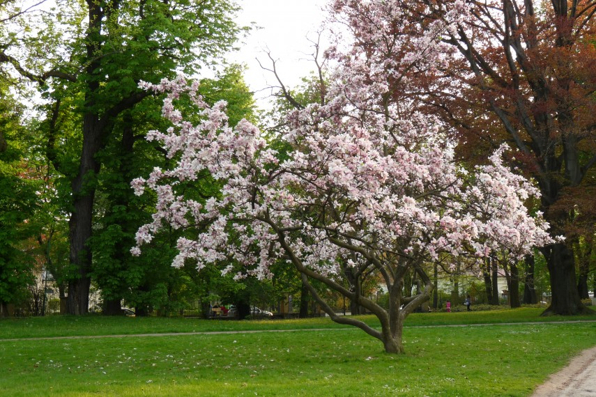 Japanese Magnolia | Jane Magnolia Tree Growth Rate | Virginia Magnolia Tree