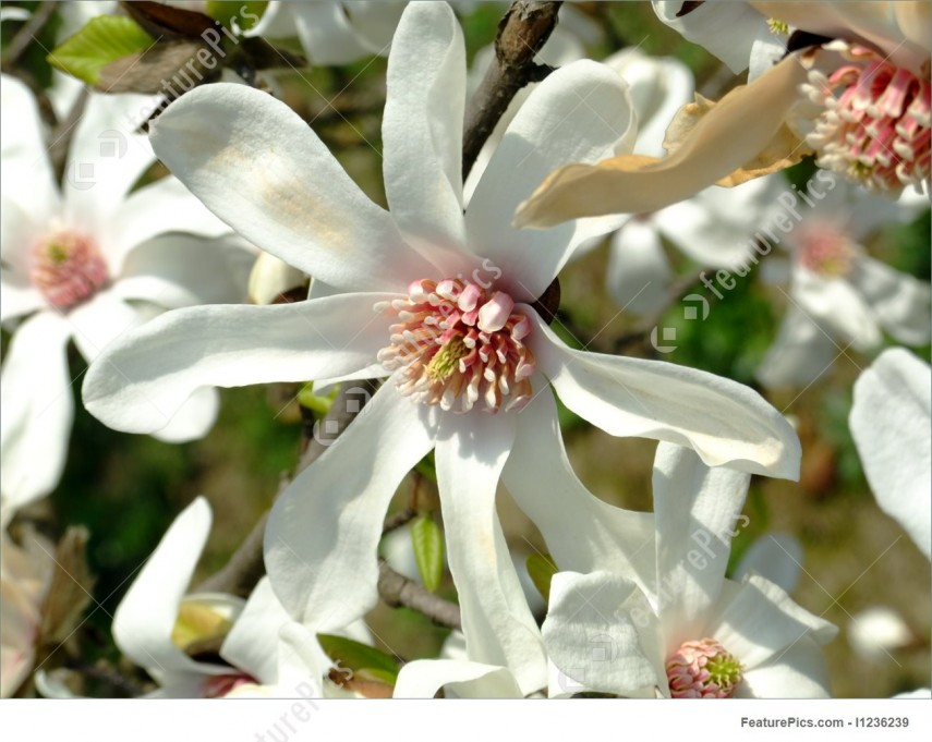 Japanese Magnolia | Saucer Magnolia Tree | Butterfly Magnolia Tree For Sale
