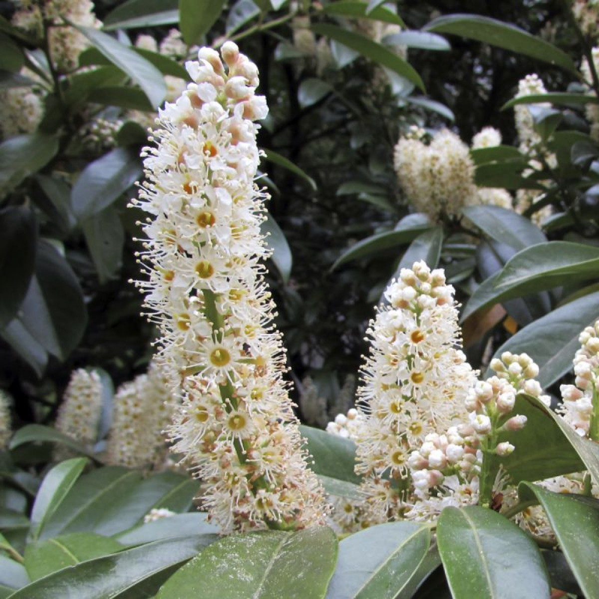 Laurel Shrubs | Cherry Laurel Hedge Plants | Cherry Laurel