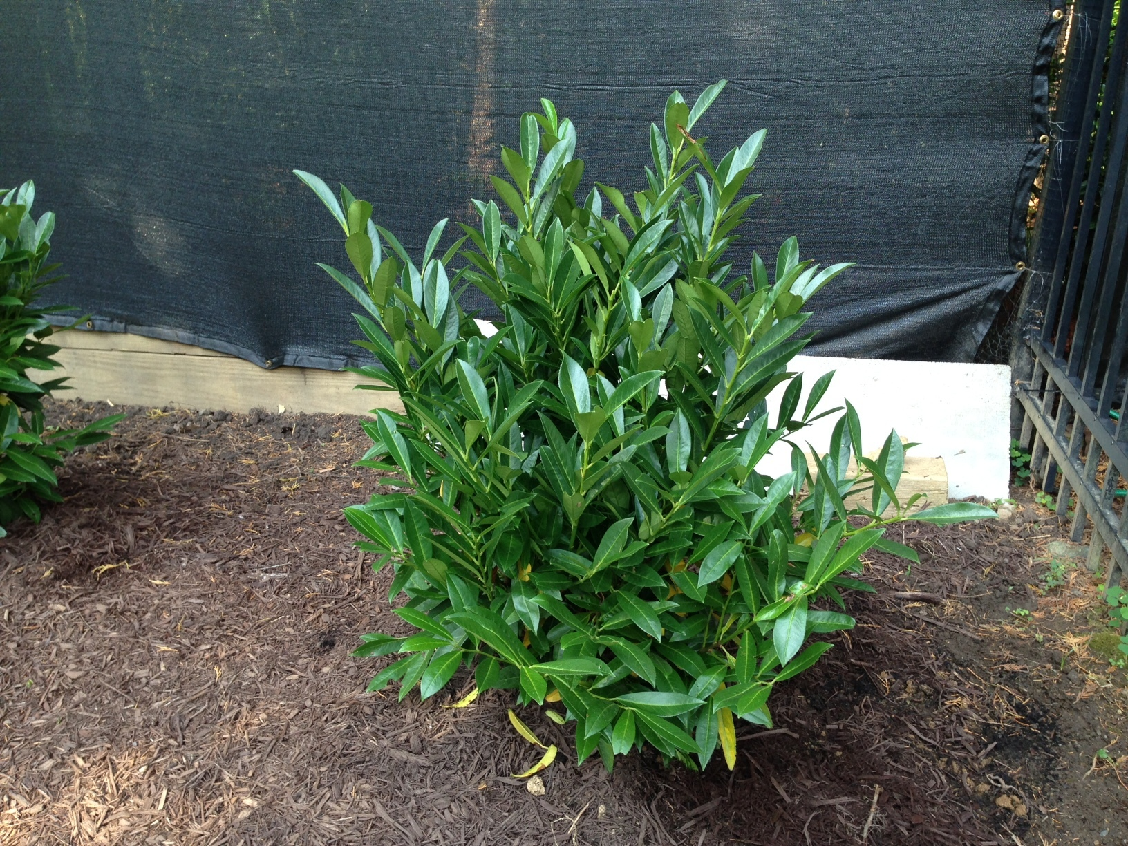 Laurel Shrubs | Compact Laurel | Cherry Laurel