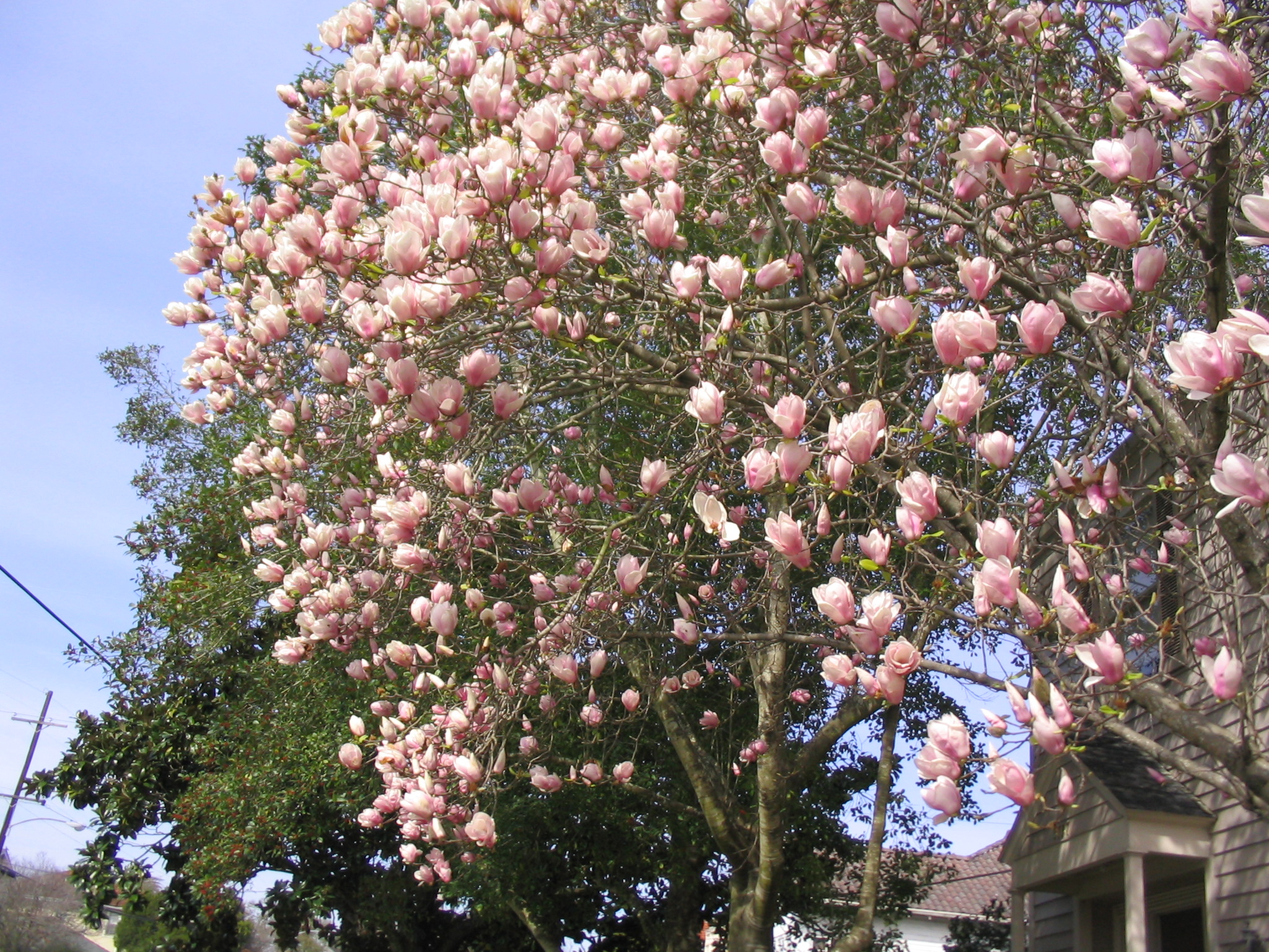 Decor Butterfly Magnolia Tree For Sale Japanese Magnolia Flower