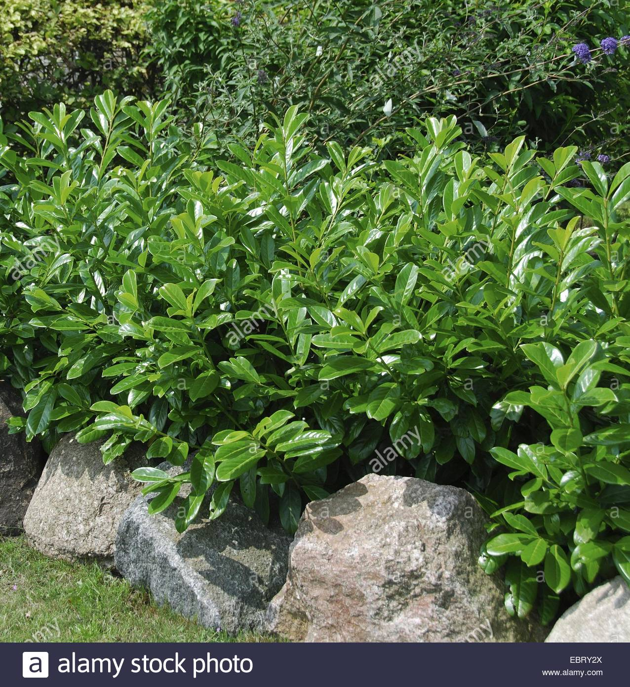 Pruning Cherry Laurel | Cherry Laurel | Cherry Laurel Tree