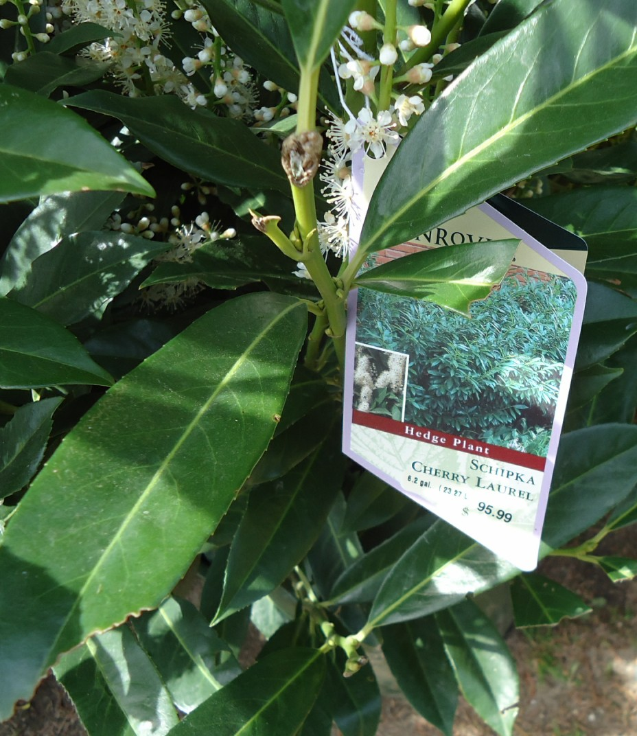 Prunus Laurocerasus Otto Luyken | Schip Laurel Prices | Cherry Laurel