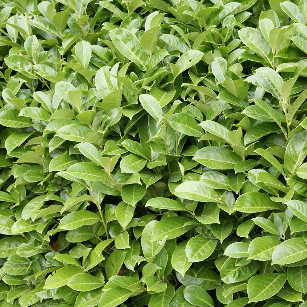 Schip Laurel | Cherry Laurel Shrub | Cherry Laurel