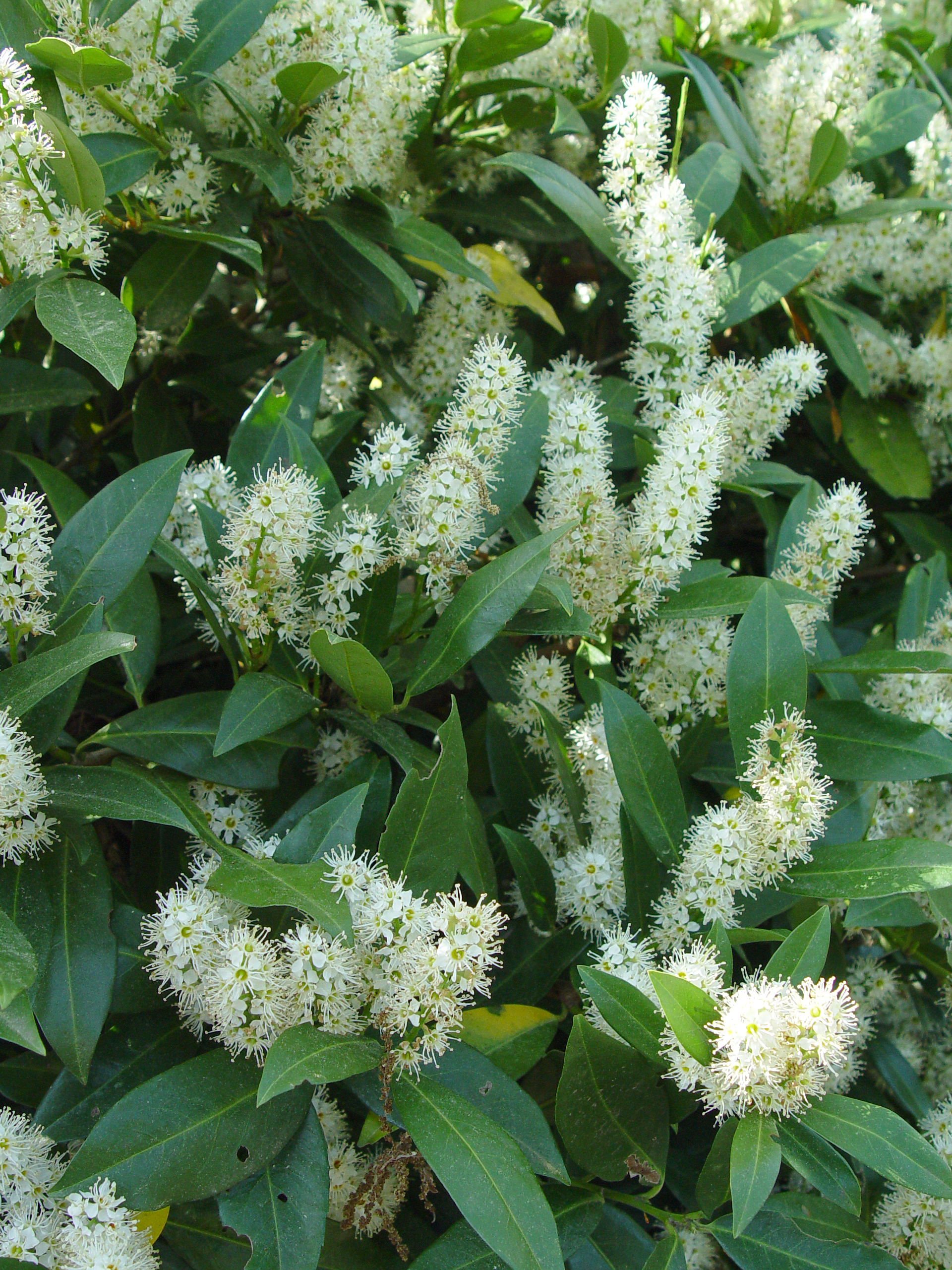 Schipka Laurel | Cherry Laurel | Cherry Laurel for Sale
