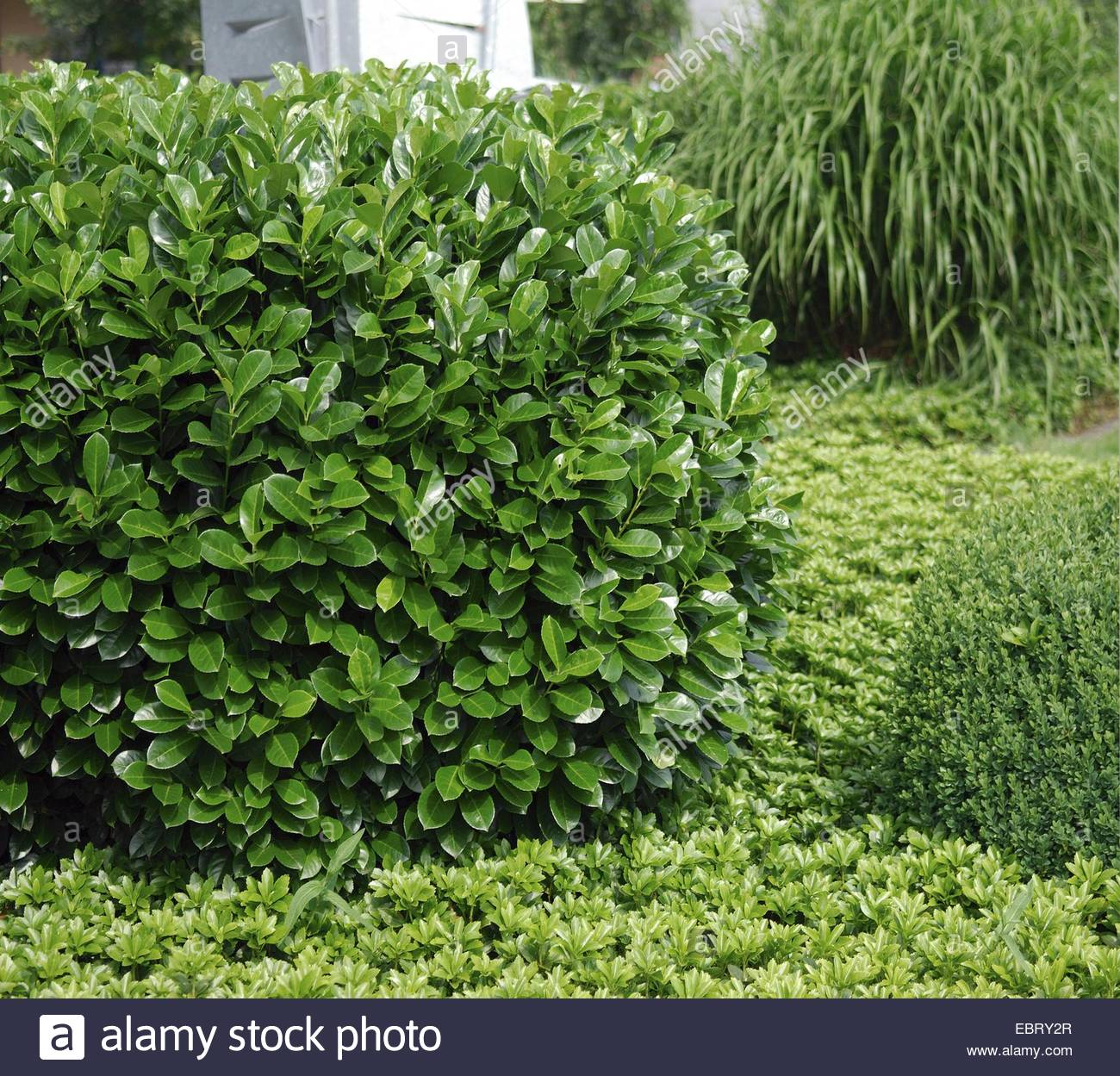 Skip Laurel Plant | Cherry Laurel | Portuguese Laurel Growth Rate