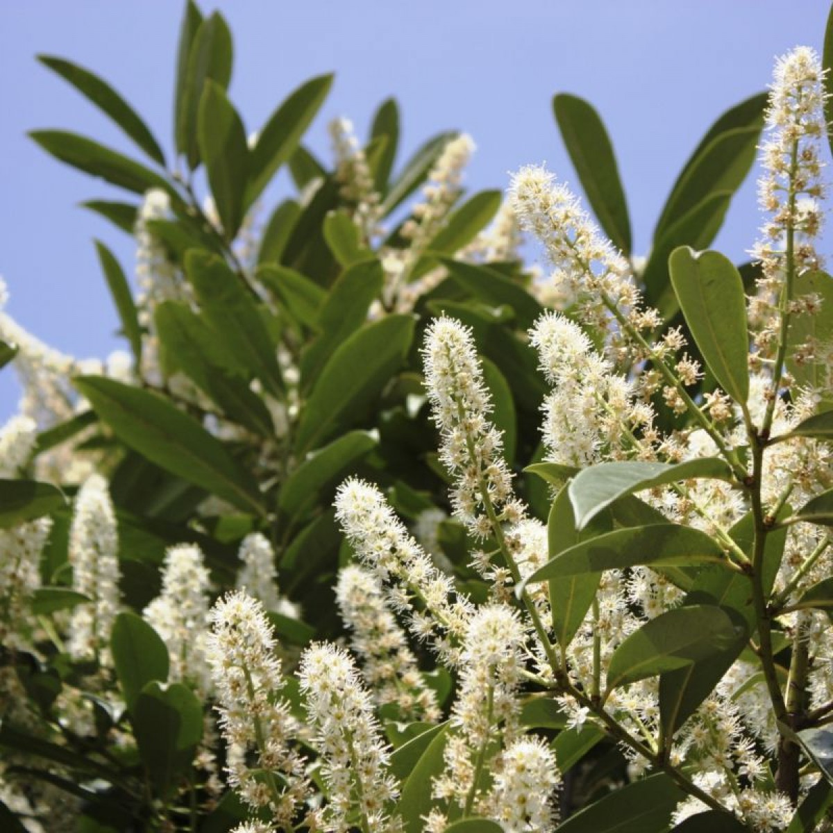 Skip Laurel Prices | Cherry Laurel | Cherry Laurel Tallahassee