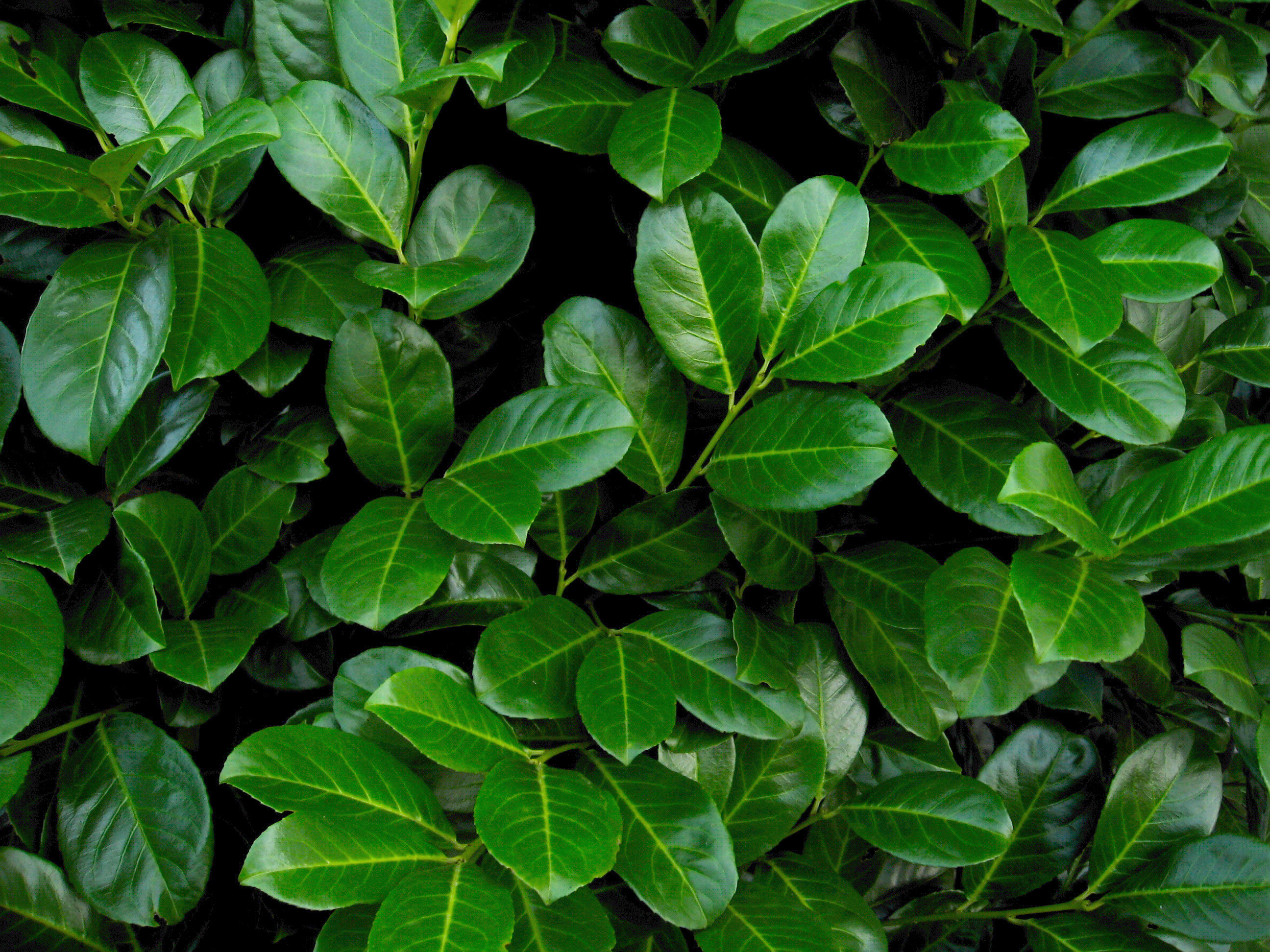 Skip Laurel Prices | Cherry Laurel | Otto Luken Laurel