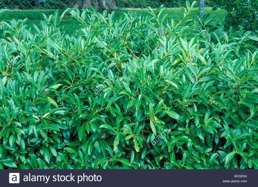 Skip Laurel Pruning | Cherry Laurel | Prunus Plant