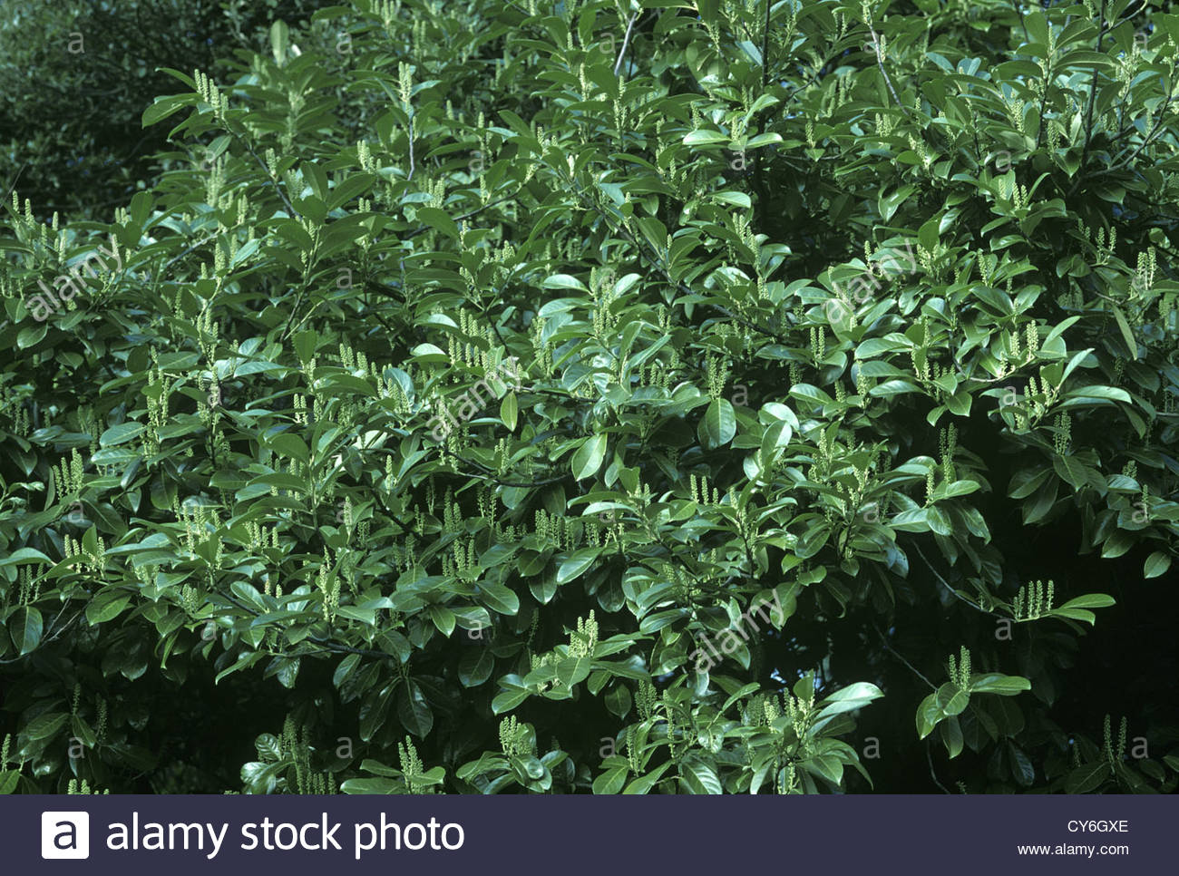 Skip Laurel Pruning | Cherry Laurel | Skip Laurel Plant