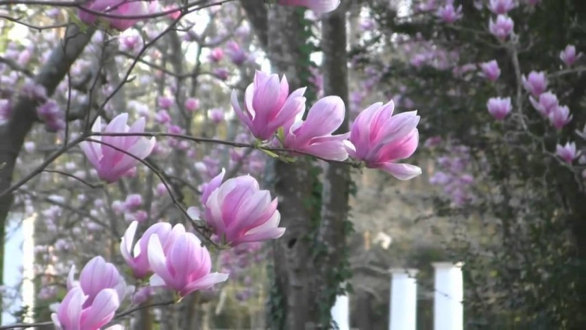 Small Magnolia Trees | Japanese Magnolia | Magnolia Trees Varieties